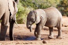Stamvridning - afrikanBush elefant Royaltyfria Bilder