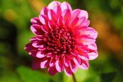 stan dalia kwiaty naturalnej czerwony Piękna czerwona kwitnąca dalia z popielatym tłem Zamknięty widok czerwona dalia z żółtym śr fotografia stock