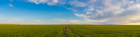 Stanchi le piste leaved su un campo di primavera alla luce del tramonto Fotografia Stock Libera da Diritti