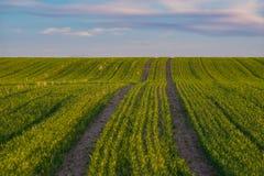Stanchi le piste leaved su un campo di primavera sotto il cielo del tramonto Immagine Stock Libera da Diritti