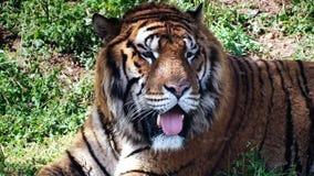 Stanco alto vicino della tigre archivi video