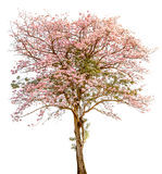 A stand alone of beautiful pind tecoma (pink trumpet)  tree on w Stock Images