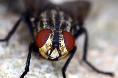 Stand alone black and brown common fly Royalty Free Stock Photos