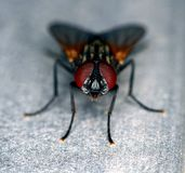 Stand alone black and brown common fly Stock Photos