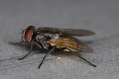 Stand alone black and brown common fly Royalty Free Stock Photo