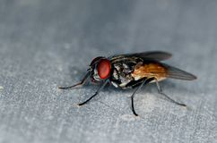 Stand alone black and brown common fly. With red eyes macro/close up side view Royalty Free Stock Images