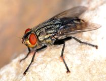 Stand alone black fly close up. Stand alone black common fly with red eyes macro/close up side view Royalty Free Stock Photos