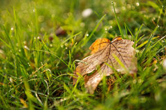 Stand-alone leaf on grass background in the field Royalty Free Stock Photography