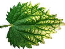 Stand- alone object on a white background,Nettle leaf Stock Images