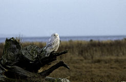 Stand alone Snowy Owl Royalty Free Stock Photo
