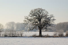 Stand alone tree in a Dutch landscape Royalty Free Stock Photo