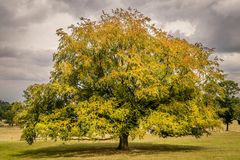 A large solo tree with rain clouds royalty free stock photography