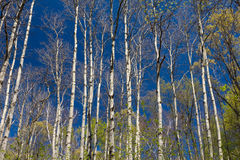 Stand of Aspen in Early Spring Royalty Free Stock Photo