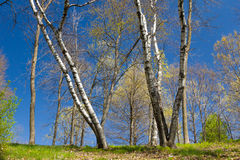 Stand of Aspen in Early Spring Royalty Free Stock Photos