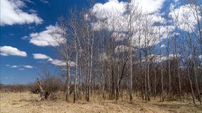 Stand of Aspen Time Lapse Video stock video footage