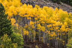 Stand of Aspen Trees Royalty Free Stock Photo