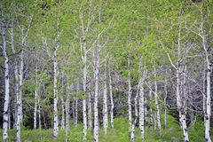 Stand of Aspens Stock Image