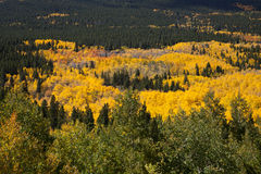 Stand of Aspens Royalty Free Stock Photo