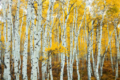 Stand of Aspens Trunks stock photo