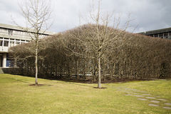 Stand of bare trees on campus Royalty Free Stock Photo