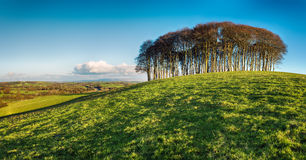 Stand of Beech Trees Royalty Free Stock Photos