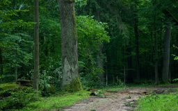 Stand of Bialowieza Forest and ground road Royalty Free Stock Image