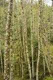 Stand of Birch Trees stock photo