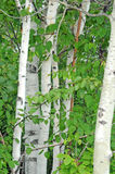 Stand of Birch trees Royalty Free Stock Photography