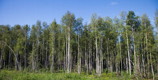 Stand of Birch Trees Stock Photography
