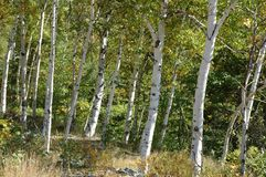 Stand of birches Stock Image