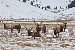 The stand. A bull elk stands proud and majestic amongst its peers Royalty Free Stock Image