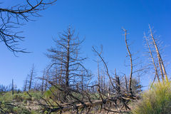 Stand of Burned Pines Royalty Free Stock Photography