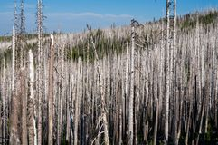 Burned Trees. Stand of burned trees in Mt Jefferson Wilderness from the B & B Complex fire Stock Images