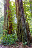 Stand of California Redwood Sequoia Pine in Sunlight Stock Photo