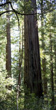 Stand of California Redwood Sequoia Pine in Sunlight Royalty Free Stock Photography