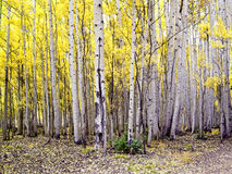 Stand of Colorado Aspens Stock Image