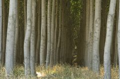 Stand of cultivated poplar trees. Royalty Free Stock Photos