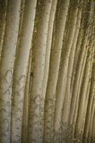 Stand of cultivated poplar trees. Stock Photos