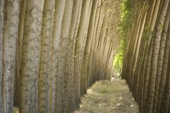 Stand of cultivated poplar trees. Royalty Free Stock Photography