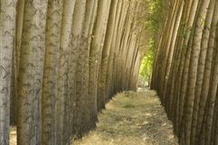 Stand of cultivated poplar trees. Stock Images