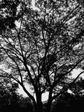 Big black tree. Stand on a dark day Royalty Free Stock Photos