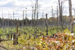 Stand of dead trees. In central Massachusetts marsh Stock Photography