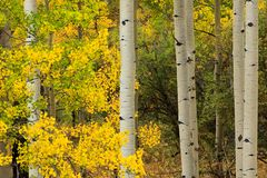 Stand and Deliver, Stand of Aspen Trees in Fall, Golden Gate Canyon State Park, Colorado, USA stock photo