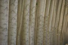 Stand des arbres de peuplier cultivés. Images libres de droits
