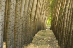 Stand des arbres de peuplier cultivés. Images stock