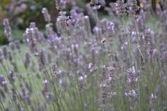 Stand des Lavendels in Frankreich Lizenzfreie Stockfotos