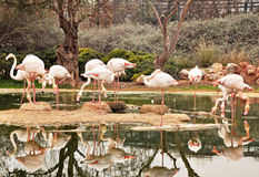 A Stand Of Flamingos Royalty Free Stock Images