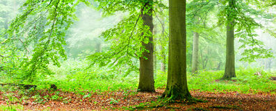 Stand In The Fog. Panorama of green trees in a foggy morning Royalty Free Stock Photography