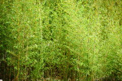 Stand of fresh young bamboo Royalty Free Stock Photos