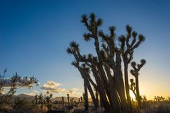 Clump of standing Joshua Trees. Stand of Joshua trees in front of California sunset in the vast Mojave Desert Stock Images